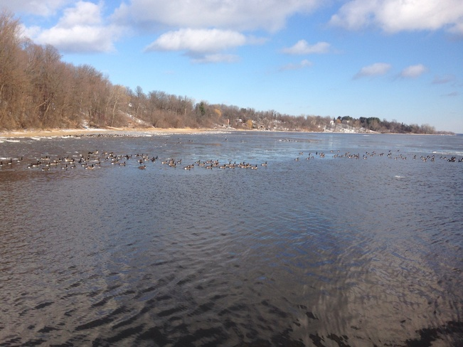 flock of geese L'Île-Perrot, Quebec Canada