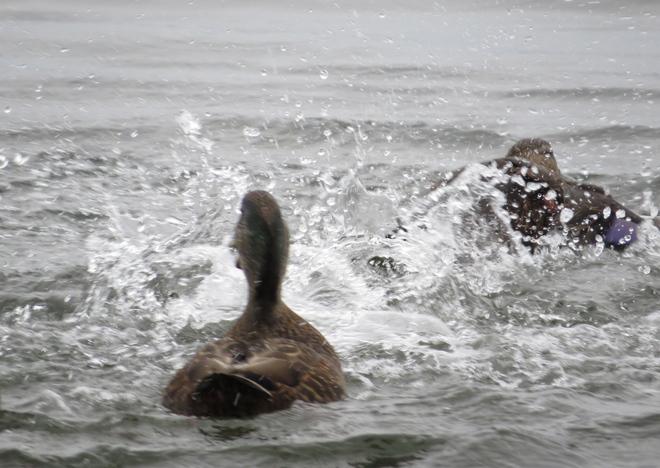 Splashing Ducks! Chester, Nova Scotia Canada