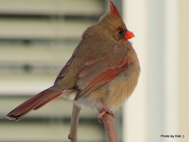female cardinal Kitchener, Ontario Canada