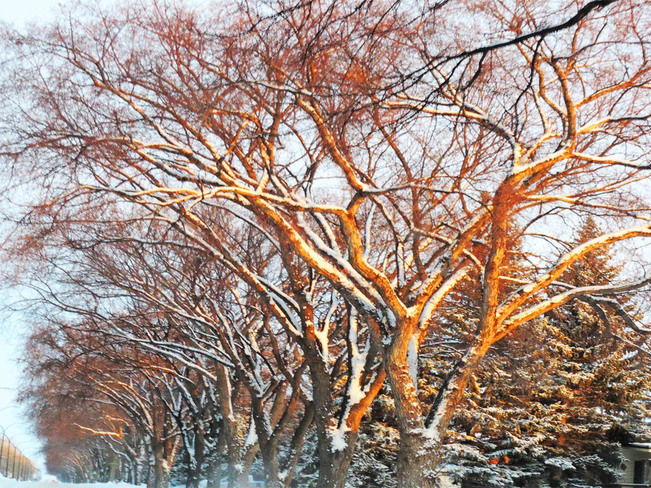 Trees Lit by the Setting Sun Lethbridge, Alberta Canada