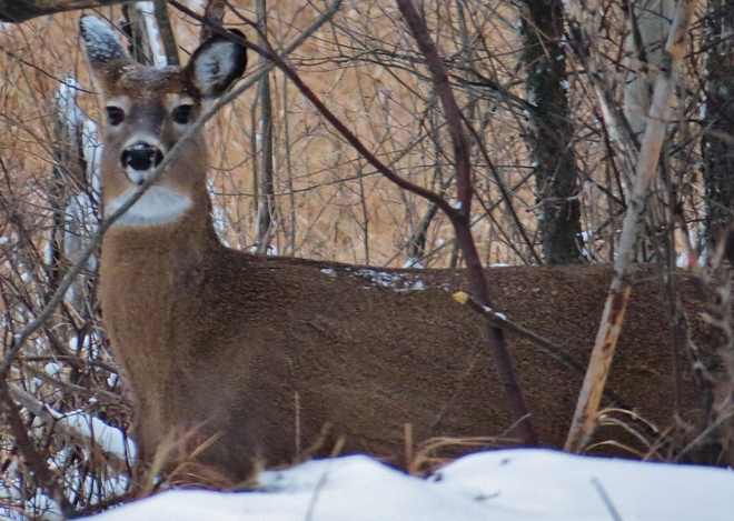 That 'deer in the headlights' look. North Bay, Ontario Canada