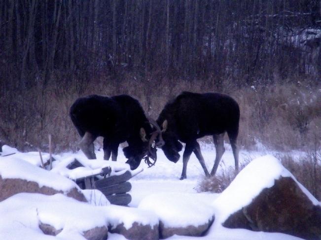 Young Bulls Athabasca County No. 12, Alberta Canada