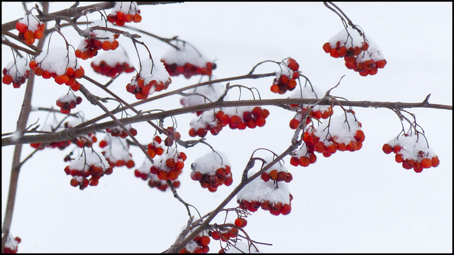 Elliot Lake red berries after the snow storm. Elliot Lake, Ontario Canada
