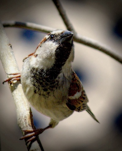 sparrow upset about the cold! Pierrefonds, Quebec Canada