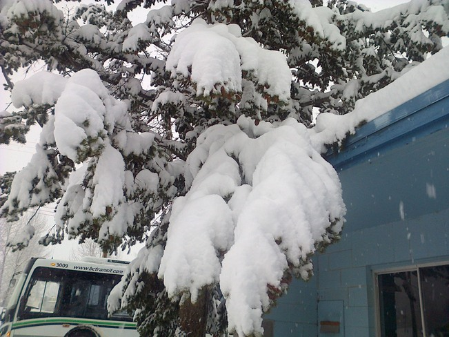 Snow covered Tree Quesnel, British Columbia Canada