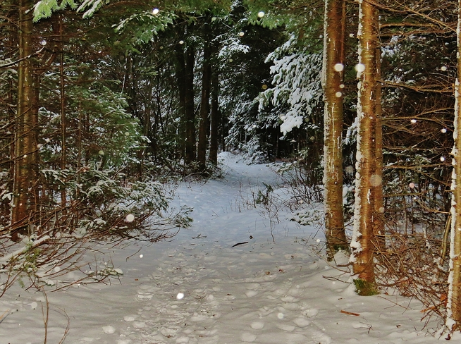 Trail through spruce covered winter wonderland. North Bay, Ontario Canada
