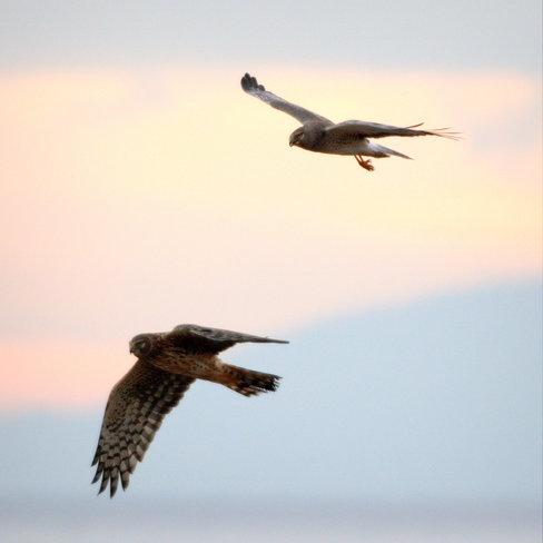 Mr.& Mrs. Northern Harrier Delta, British Columbia Canada