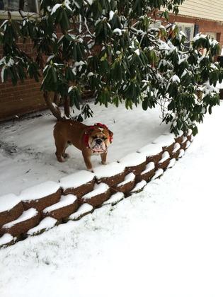 English Bulldog in the snow