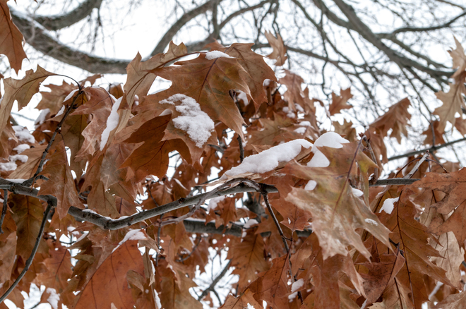 Oak Leaves with Snow Fredericton, New Brunswick Canada