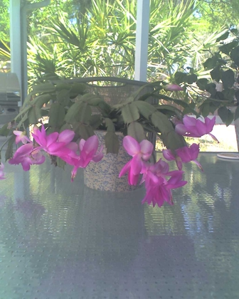 Our Christmas cactus in full bloom on St Patricks day