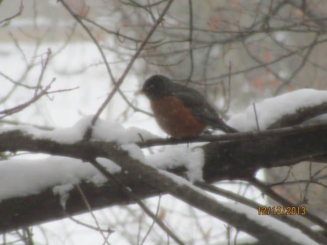 Winter Robin Niagara Falls, Ontario Canada