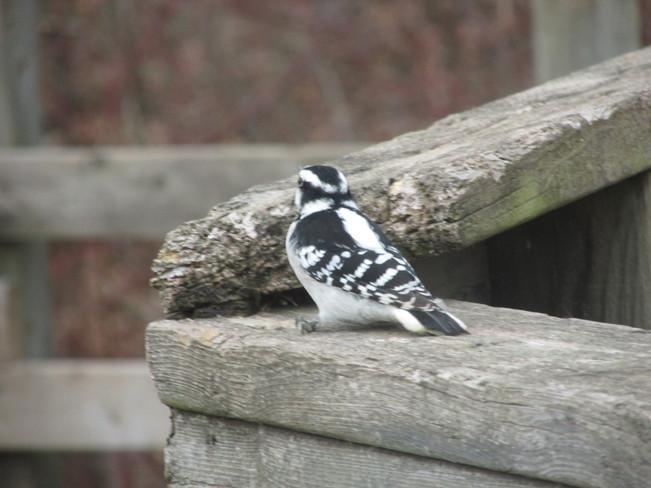 Lots of Woodpeckers in Cherry Hill Park Burlington, Ontario Canada