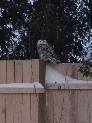 Owl on the fence at Canada Post Burlington, Ontario Canada