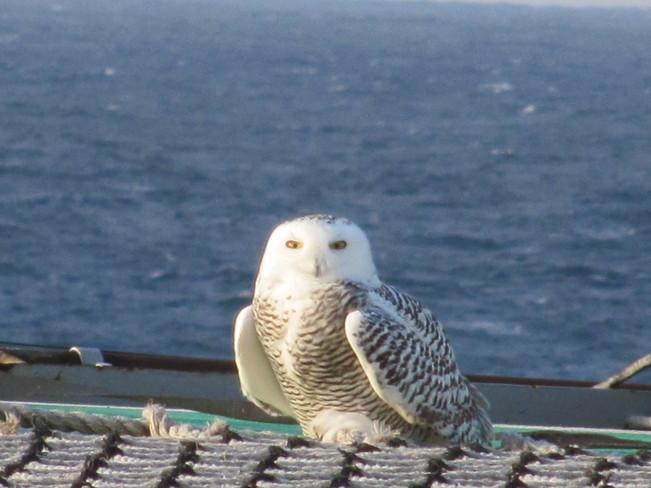 Snowy Owl Paradise, Newfoundland and Labrador Canada