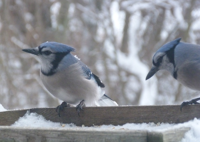 Jays enjoy lunch Langton, Ontario Canada