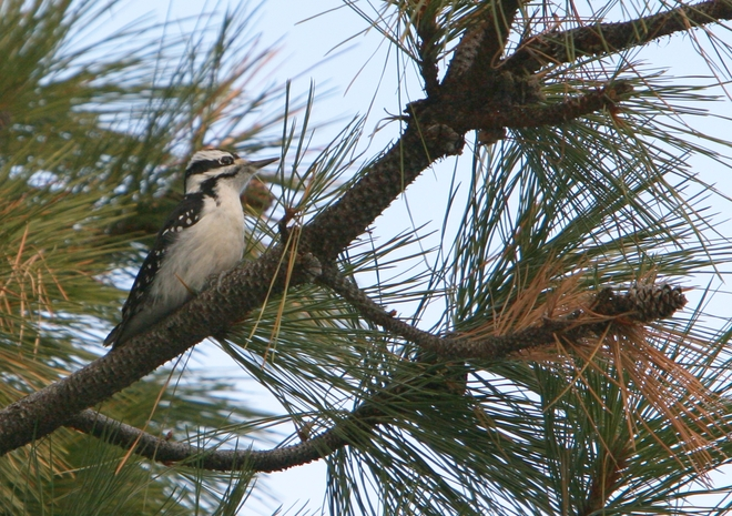 Downy Woodpecker Oliver, British Columbia Canada