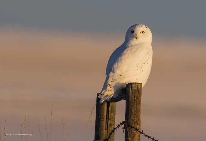 male Snowy Owl at sunset High River, Alberta Canada