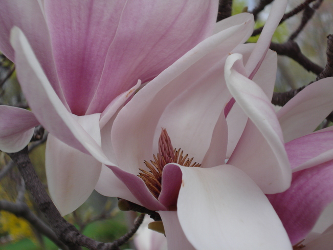 Remember when . . . the magnolias were in bloom? Kingston, Ontario Canada