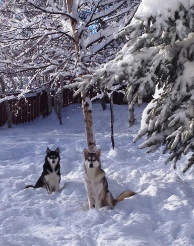 Snow Dogs Gander, Newfoundland and Labrador Canada