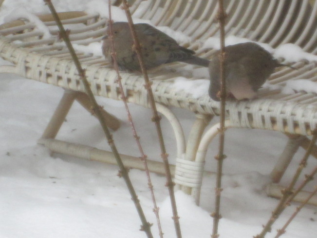 Couple of Doves St. Catharines, Ontario Canada