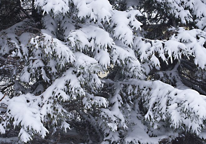 Spruce trees weighed down in snow Glovertown, Newfoundland and Labrador Canada