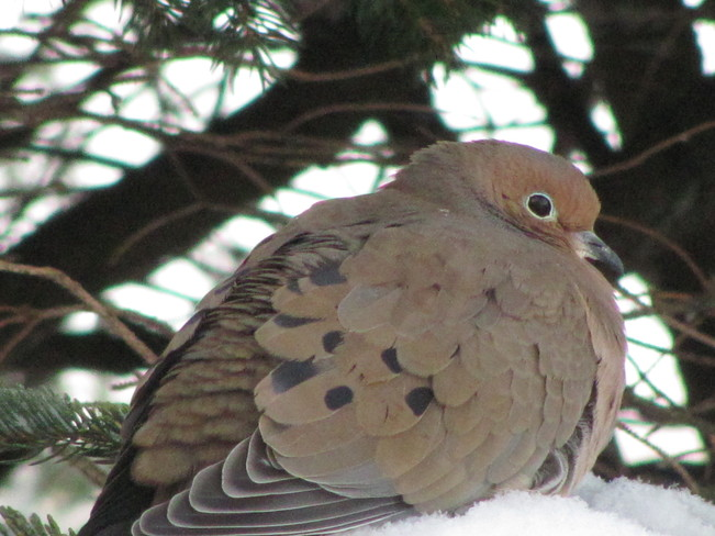 Close-Up on a Mourning Dove Amherst, Nova Scotia Canada