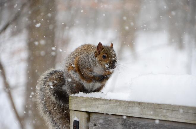 Squirrel in the snow Streetsville, Ontario Canada