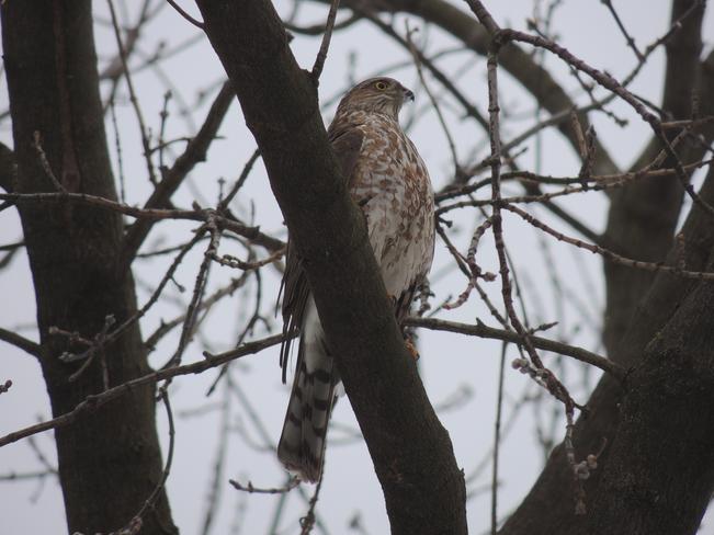 Sharp-shinned Hawk Toronto, Ontario Canada