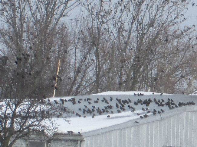 Tree loaded with Starlings St. Catharines, Ontario Canada