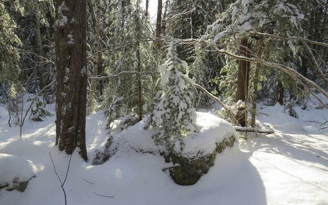 Wee Balsam Fir_Winter Solstice 2013 Chester, Nova Scotia Canada