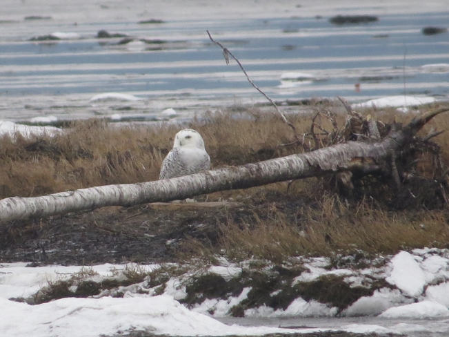 Snowy Owl Relaxing Delta, British Columbia Canada