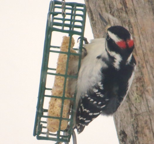 Woody enjoying the peanut butter suet on a snowy morning Rutherglen, Ontario Canada