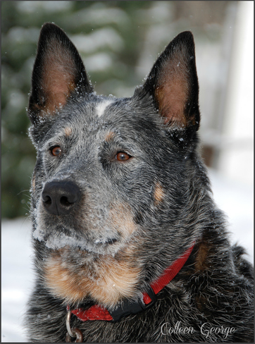 Cattle Dog Gaze Centreville, Nova Scotia Canada