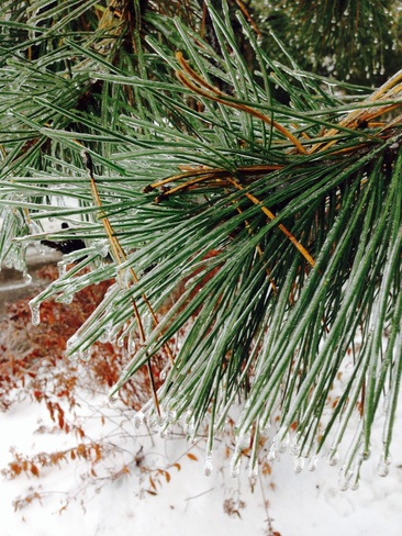 icy pine needles Burlington, Ontario Canada