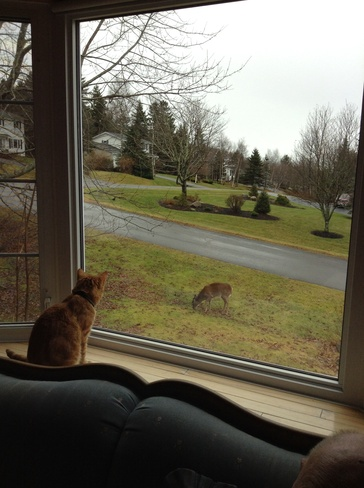 Cat looking at deer Quispamsis, New Brunswick Canada