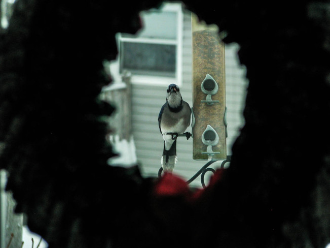 Blue Jay in the Christmas Wreath Charlottetown, Prince Edward Island Canada