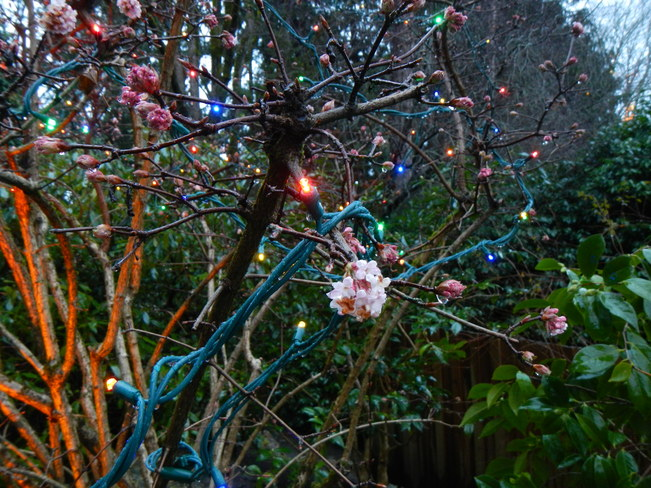 christmas lights and cherry blossoms Victoria, British Columbia Canada