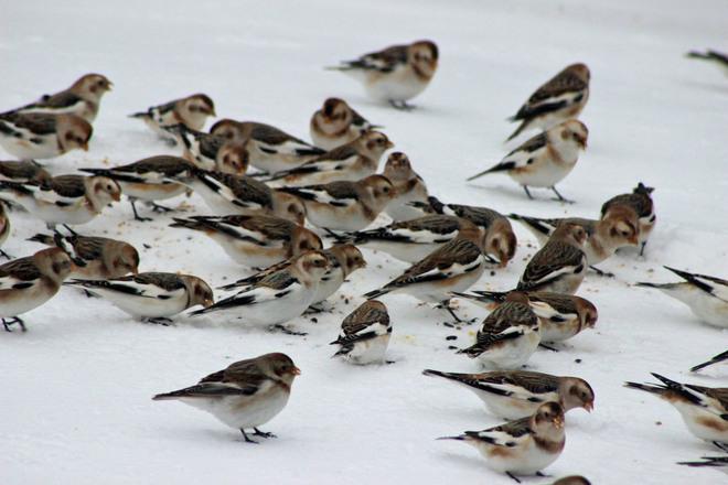 Snowbirds in Green Meadows Green Meadows, Prince Edward Island Canada