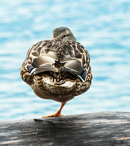 Duck on One Leg White Rock, British Columbia Canada