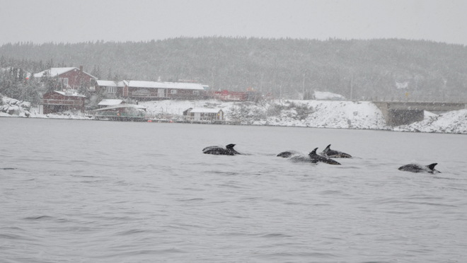 Dolphins In The Snow Twillingate, Newfoundland and Labrador Canada