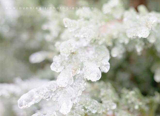 Juniper Ice Brooklin, Ontario Canada