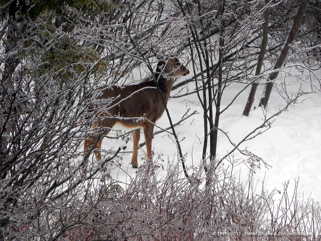 Deer in freezing rain Saint John, New Brunswick Canada