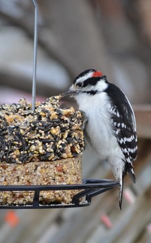 Downy Woodpecker Ottawa, Ontario Canada