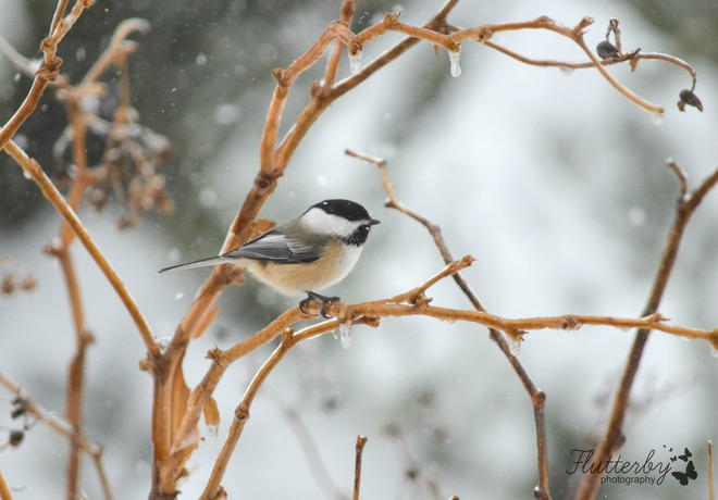 Chickadees come out in any weather! Barachois, New Brunswick Canada