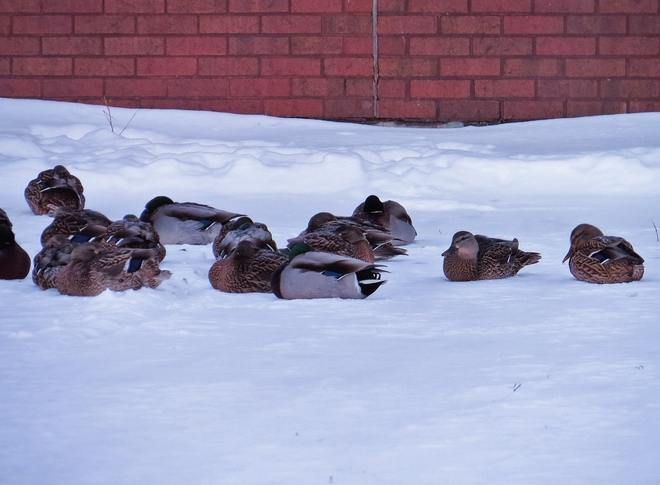 Ducks trying to rest on the snow. North Bay, Ontario Canada