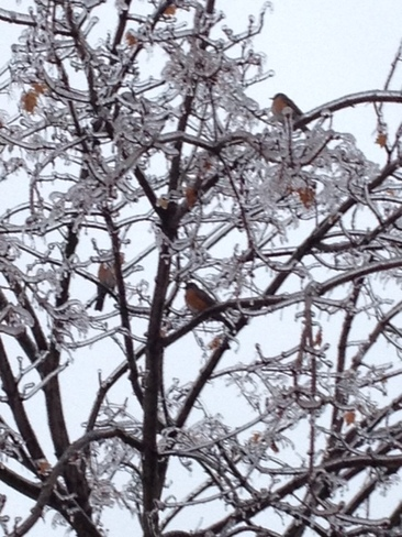 ROBINS AND ICE STORM Markham, Ontario Canada
