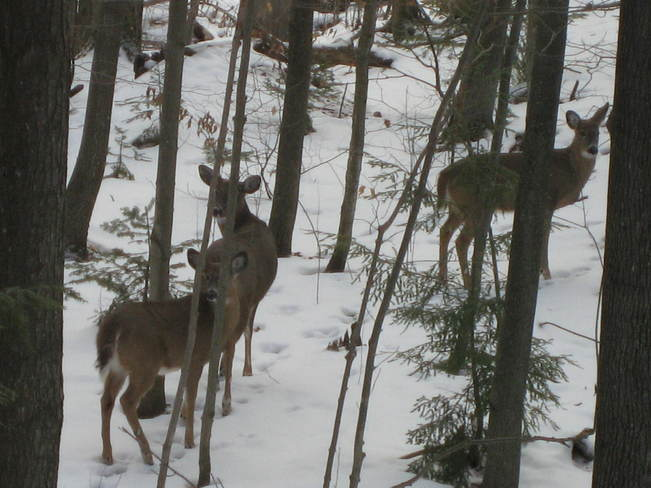 Deer and her Yearlings Rob Roy, Ontario Canada