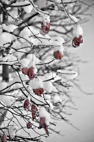 Last Leaves on a Snowy Japanese Maple Goderich, Ontario Canada