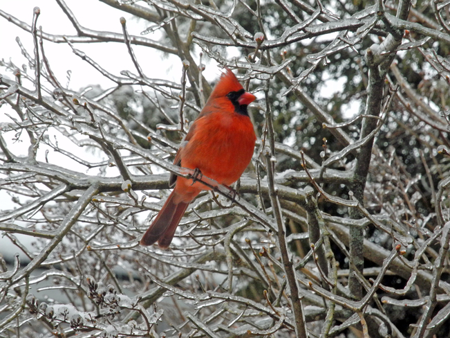 Cardinal on ice laden branch Fredericton, New Brunswick Canada