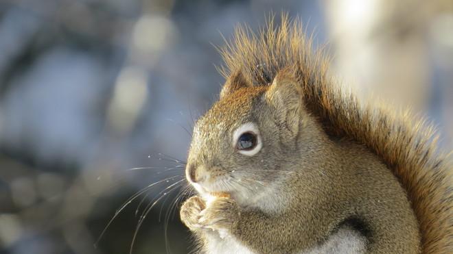 Red squirrel Timmins, Ontario Canada